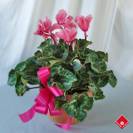 Cadeaux d 39 anniversaire et fleurs montr al le pot de fleurs - Arrosage cyclamen en pot ...