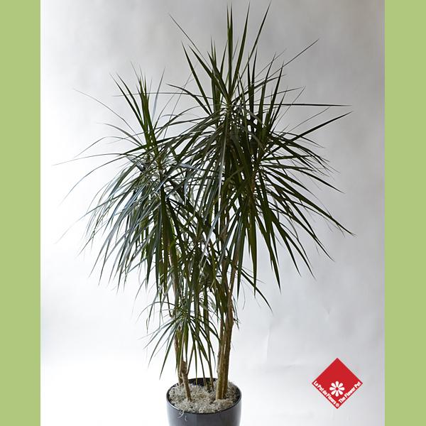 Plantes tropicales d 39 int rieur montr al le pot de fleurs for Plantes tropicales d interieur