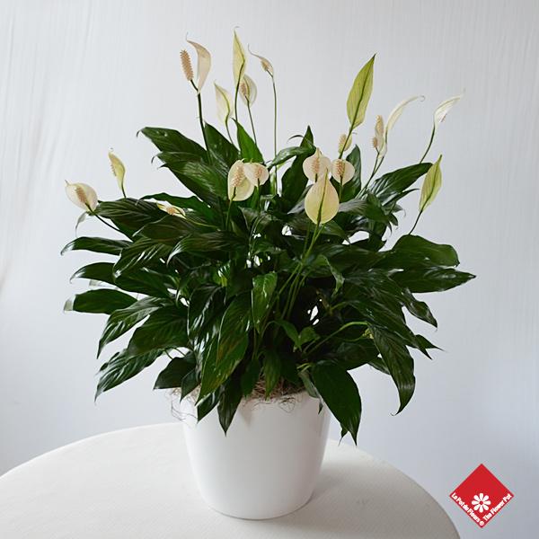Grande plante d intrieur plante verte avec grande feuille for Grande plante interieur pas cher
